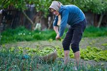 Senior Woman Harvesting Orache