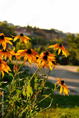 Black Eyed Susan Flowers Blooming On Sunny Day Against Clear Sky Tablou Canvas