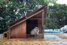 Guinea Pig In A Shed With A Po...