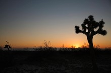 Silhouette Joshua Tree Against Clear Sky At Sunset