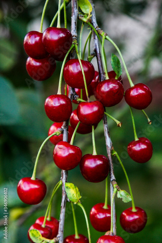 Close-up Of Cherries Growing On Tree Fototapet