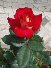 Red Roses Bloom In Spring , Th...