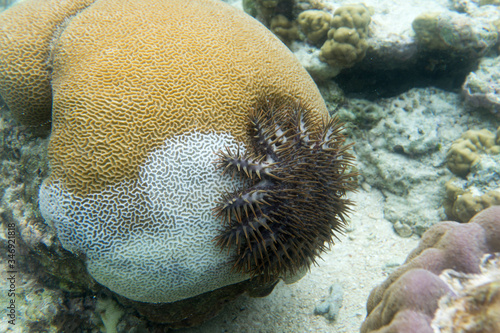 Photo A crown of thorns starfish