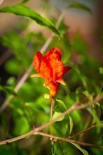 Fresh Pomegranate Flower