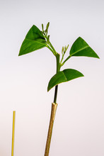 Young Citrus Tree Graft