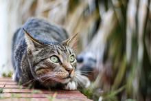 Tabby Mackerel  Cat. Curious Cute Male Cat Playing In The Garden