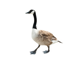 Canada Goose (Branta Canadensis), Isolated On White Background