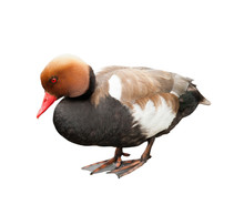 The Red-crested Pochard (Netta Rufina)  - Large Diving Duck (Male), Isolated On White Background