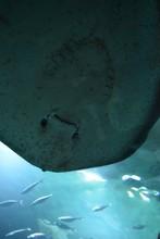 Close-up Of Stingray Swimming In Aquarium