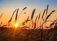 Cattail Grass In Field At Sunrise