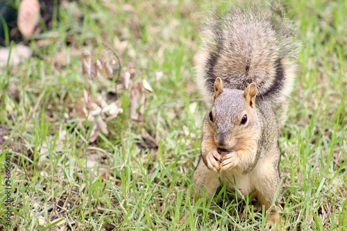 Photo Backyard Fox Squirrel sitting on hind legs eating seed in the grass, room for te