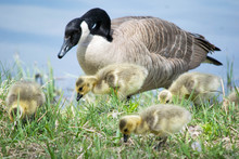 Canada Goose With Goslings At ...