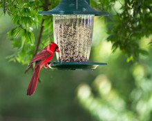 Cardinal At A Feeder In A Springtime Backyard