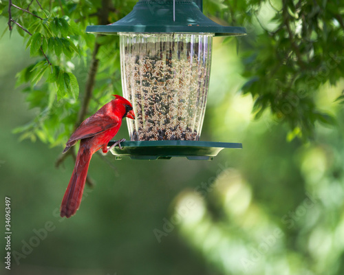 Fotografie, Tablou Cardinal at a feeder in a springtime backyard