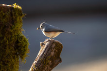 Tufted Titmouse Bird Perched O...