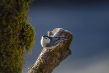 White-Breasted Nuthatch Bird P...
