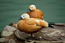 Two Beautiful Brown Ducks Near...