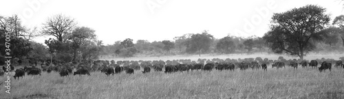 Fotografia Panoramic View Of Sheep Grazing On Field Against Clear Sky