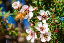 Bee On Collecting Pollen From Manuka Flowers