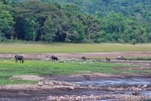 Herd Of Asian Buffaloes Are Ea...
