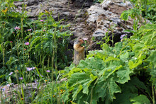Ground Squirrel Eating In Glacier National Park