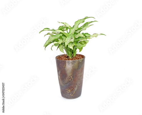 Arrowhead plant in green ceramic pot Isolated on white background Canvas Print
