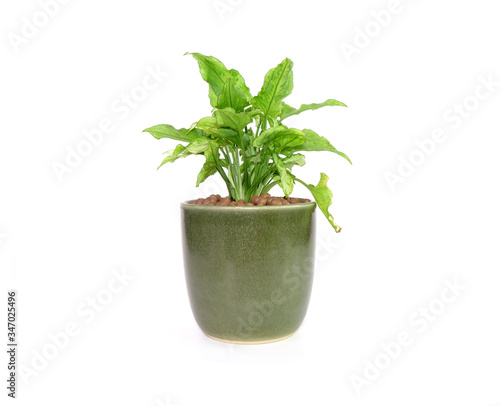 Photo Arrowhead plant in green ceramic pot Isolated on white background