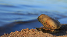 Opened Shell Lies On The Sand By The Water. Image With Blue Blurred Background