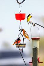 Beautiful Baltimore Orioles On Bird Feeder