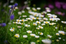Beautiful Selective Shot Of A White Field Daises In A Garden Under The Sunlight