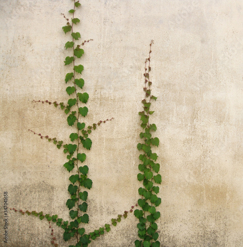 Fotomural Ivies Growing On Beige Wall