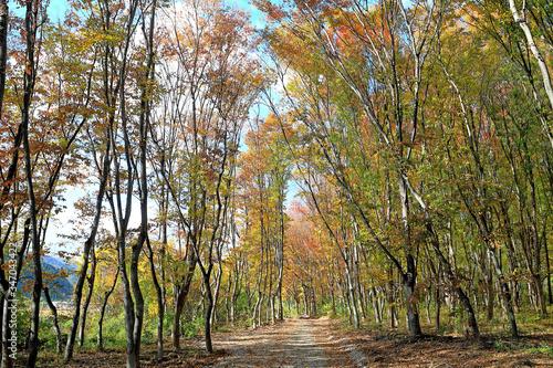 Fototapeta 아름다운 가을 숲 obraz na płótnie