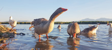 Gooses Birds Eating By  The Lake In Evening Time In Ioannina Greece