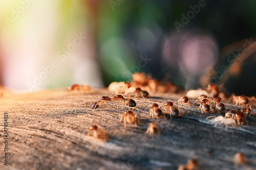 Colony Of Termite, Termites eat wood ,termites that come out to the surface after the rain fell Fototapete
