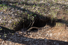 Badger Hole In The Forest. House Of Badgers. Fortification Of Badgers In Dim Forest