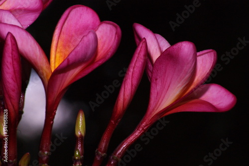 Fototapety, obrazy: Close-up Of Pink Frangipanis Blooming Outdoors At Night