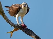 Osprey In Tree Eating A Fish