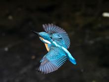 Common Kingfisher In Flight Over Izumi River 11