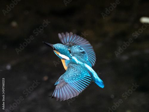 Valokuva common kingfisher in flight over Izumi River 11