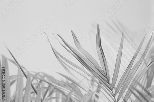 Fototapeta Abstract gray shadow background of palm leaves, black and white monochrome tone obraz na płótnie
