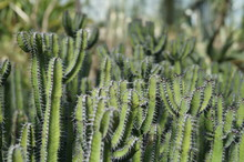 Close-up Of Cactus Plants At Royal Botanic Gardens