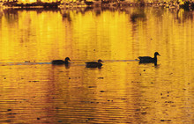 Canadian Migratory Geese Swimm...