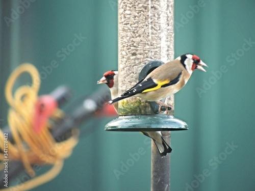 Stampa su Tela Goldfinches On Feeder
