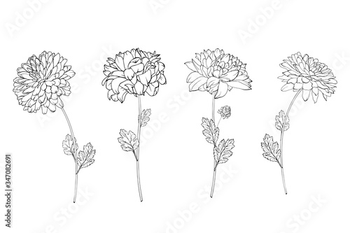 Fotomural Set of hand drawn black outline flowers chrysanthemum on stem and leaves isolated on white