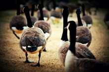 Canada Geese On Field