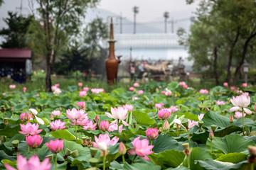 Lotus Water Lilies Blooming At Semiwon Park