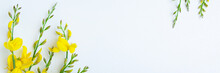 Yellow Blossom Gorse On The White Background. Flat Lay Floral Themes, Space For Text