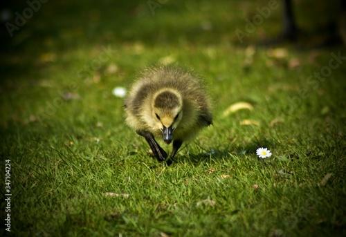 Valokuvatapetti Close-up Of Mallard Duck On Grassy Field