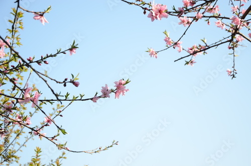 Low Angle View Of Cherry Trees Against Clear Sky Fotobehang