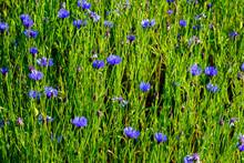 Cornflowers In Grass: Centaure...